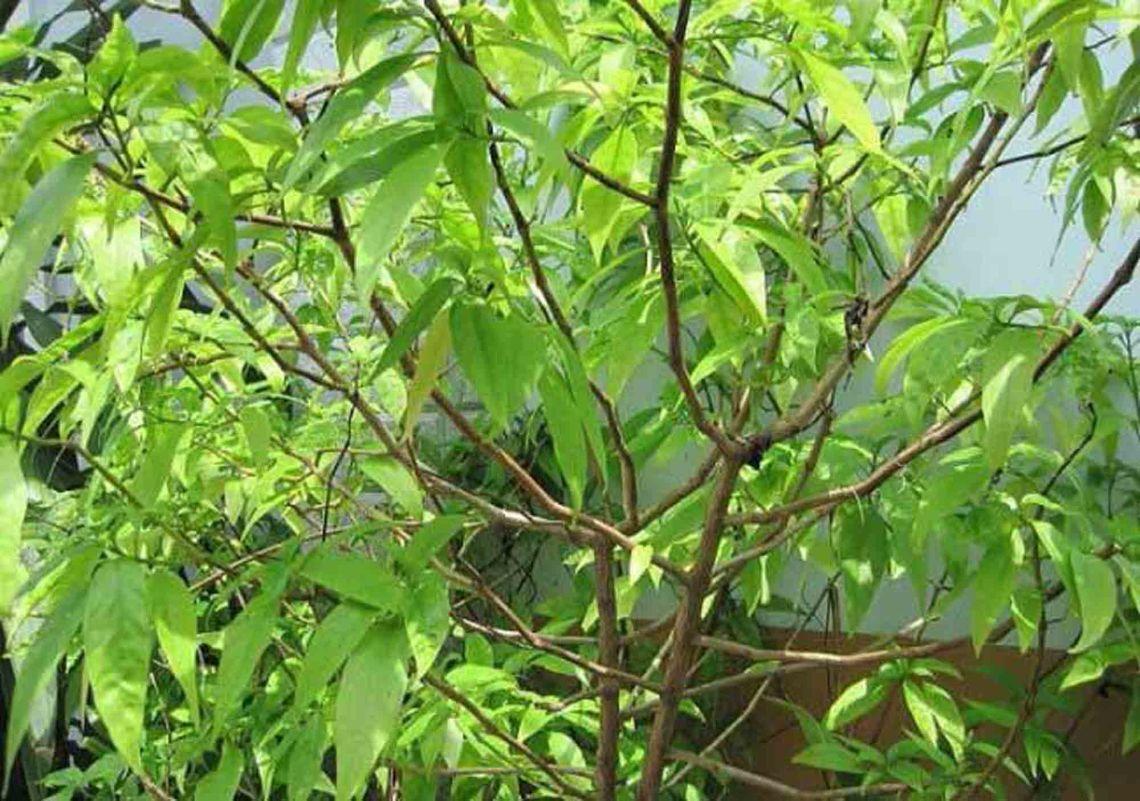 Cây Hoàn ngọc (Cây Xuân hoa, Nhật nguyệt)